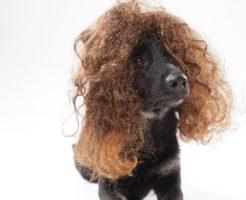 捻転毛の改善をするために_パーマじゃない捻転毛の犬