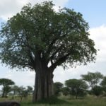 想像以上!?頭皮環境を整えるバオバブ種子油の成分解析とその効果